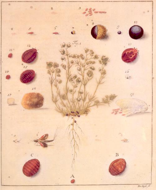 Polish cochineal