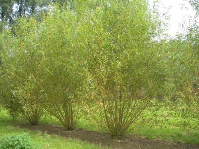 Common osier (Salix viminalis)