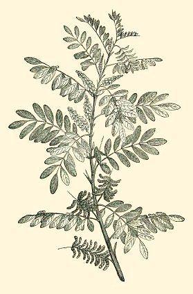 Indigo (Indigofera tinctoria)