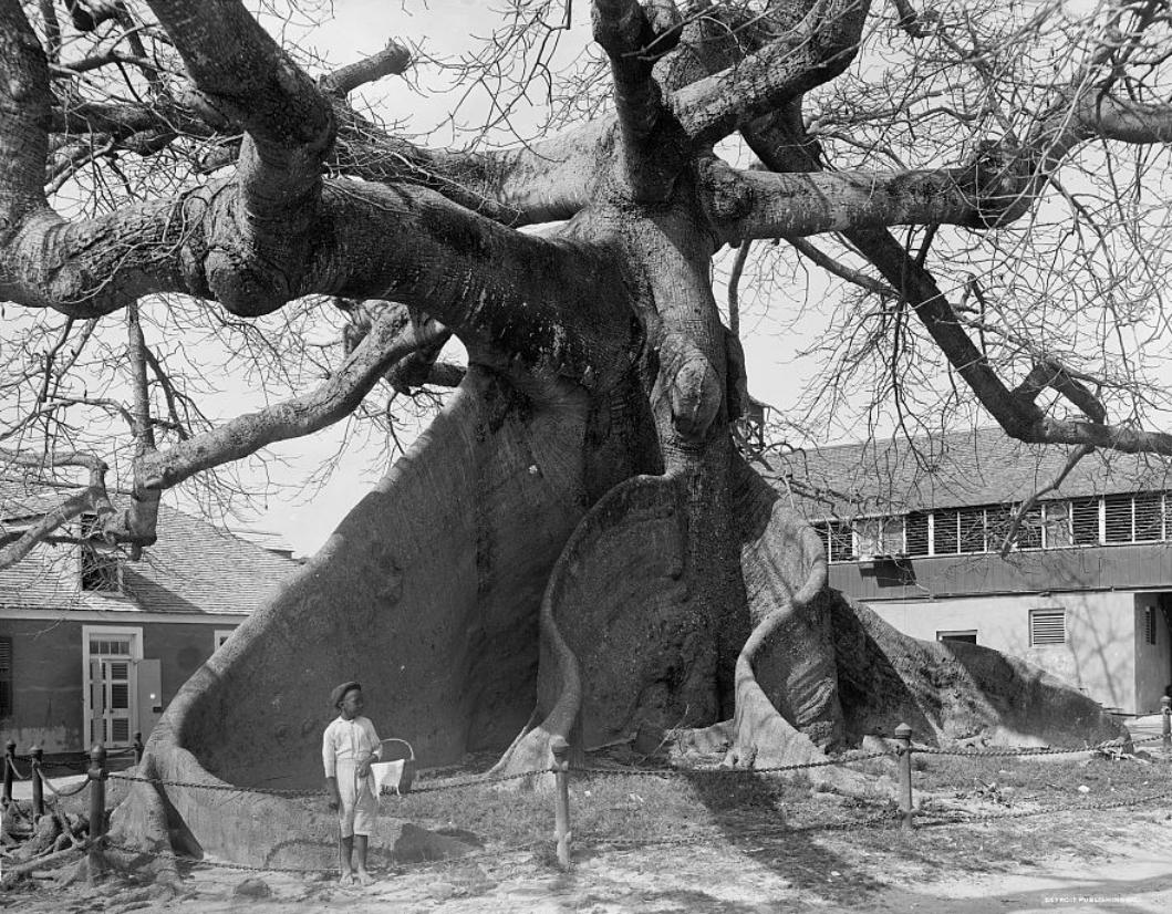 Kapok tree (Ceiba pentandra). Nassau, Bahamas.