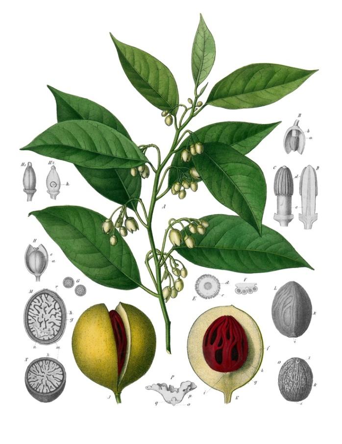 Botanical drawing of nutmeg (Myristica fragrans)